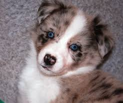 australian shepherd spaniel mix the dog in world australian shepherd dogs
