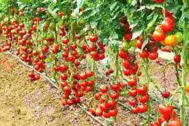 let u0027s grow tomatoes upside down pnmwg fertilizers