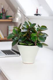 best 20 rubber plant ideas on pinterest fiddle leaf fig tree