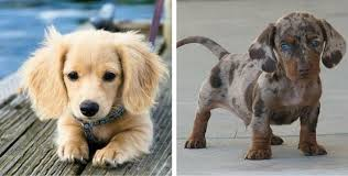 australian shepherd boxer mix 20 of the coolest u0026 craziest cross breed dogs you u0027ll ever see