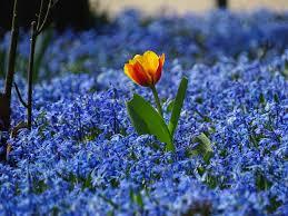 Bluebonnet Flowers - free images nature grass blossom field meadow flower tulip