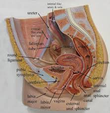 Female Breast Anatomy And Physiology 503 Best Anatomy And Physiology Images On Pinterest Medicine