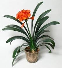 best 25 pineapple plant care ideas on where do