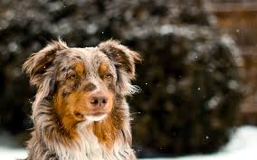 australian shepherd quiz handsome heroes and hunky hounds celebrity matchup game playbuzz