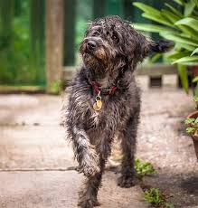 lifespan of a bluetick coonhound schnoodle dog breed information pictures characteristics u0026 facts