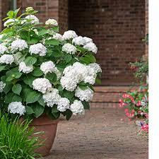 sweet viburnum 200mm pot viburnum hydrangea macrophylla blushing bride white flower farm