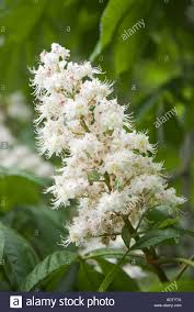 flowers canada chestnut tree flowers in in toronto ontario canada stock