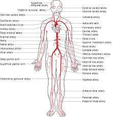 Heart Anatomy Arteries Anatomy Lecture Notes Unit 7 Circulatory System The Blood Vessels