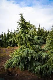 feelin blue deodar cedar for sale the tree center