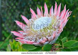 Protea Flower South Africa - king protea stock images royalty free images u0026 vectors shutterstock