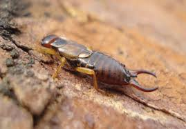 category earwigs tanner pest control see the difference