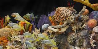 thanksgiving reefs cuba s coral reefs
