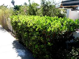 planting a native hedge toyon hedge heteromeles arbutifolia back yard fence in nature