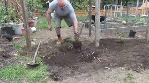 planting hardy kiwi youtube