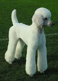 standard poodle hair styles 6 nice standard poodle haircuts styles harvardsol com
