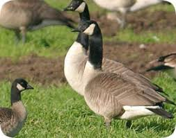 how to get rid of canada geese canadian goose in yard or property