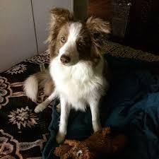 australian shepherd border collie 2043 best border collies images on pinterest animals puppies