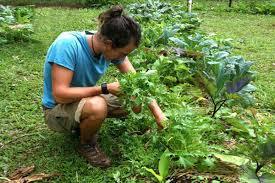 gardening in hawaii watering the gardens hawaii vegetable