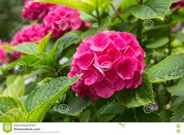 pink gardenia stock photo image 73460193