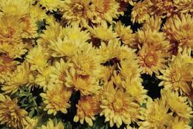 Picture Of Mums The Flowers - how to trim the flowers off a mum home guides sf gate