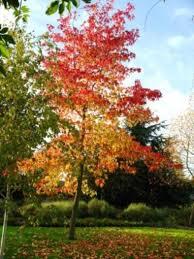 liquidambar trees for sale at trees direct