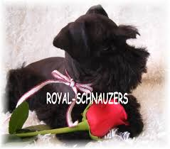 affenpinscher loyalty ut toy miniature schnauzers puppies miniature schnauzers for sale