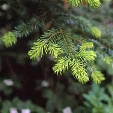 duncan chisholm trail kiwanis club tree sale duncan