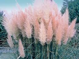 200 white pas grass seeds pink pas grass seeds
