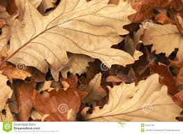 brown autumn leaves stock image image 7596231