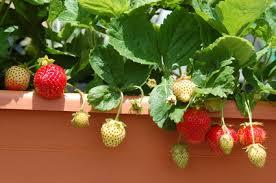 topfpflanzen balkon erdbeeren auf dem balkon pflanzen balkon oasebalkon oase