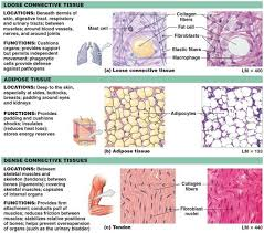 Parts Of A Tissue Connective Tissues Medical Information Pinterest Loose