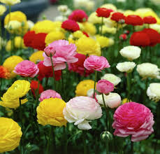 flowers in garden images 40 most beautiful persian buttercup flowers golfian com