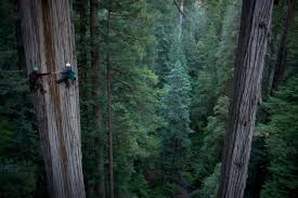 tallest tree photo the picture show npr