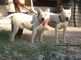 old classic hinks terrier indian bull terrier pit bull chat forum