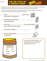 the life cycle of a peanut plant worksheet education com