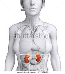 Female Urinary System Anatomy Adrenal Gland Stock Images Royalty Free Images U0026 Vectors