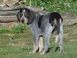 bluetick coonhound jack russell mix bluetick coonhound dog justadogg