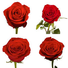 global roses globalrose fresh color roses 250 stems freedom 250 the