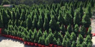 we also sell a selection of gorgeous trees in pots