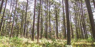 Arkansas forest images Neeley news jpg