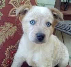 blue heeler x australian shepherd adopt caleb on australian cattle dog