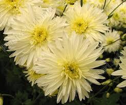 Daisy The Flower - 233 best chrysanthemums images on pinterest chrysanthemums