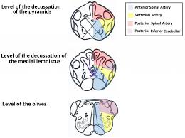 What Is The Main Function Of The Medulla Oblongata The Medulla Oblongata Internal Structure Vasculature
