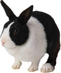 rabbit png clipart clipartxtras