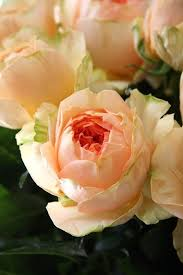 Peach Roses The 28 Best Images About Peach Roses On Pinterest Gardens Soft