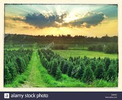 rows of trees at a tree farm in bethlehem new