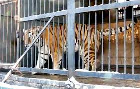 tiger gnaws leg of screaming 13 year who banged on its cage