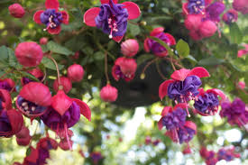 fuschia best fuschia plants by img on home design ideas with hd resolution