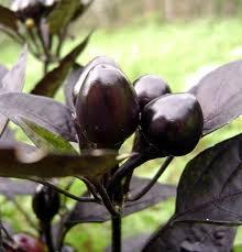 black pearl pepper 10 seeds ornamental edible hirt s gardens