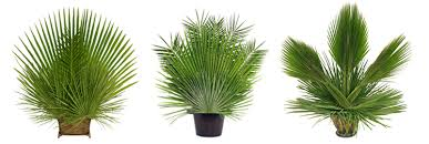 palm leaves for palm sunday arrangements